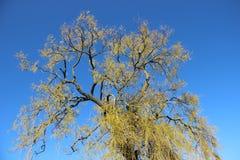 Boom die Jonge Groene Bladeren in de Lente ontluiken royalty-vrije stock afbeeldingen