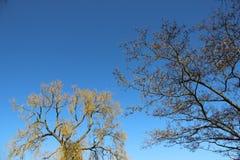Boom die Jonge Groene Bladeren in de Lente ontluiken stock afbeeldingen