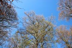 Boom die Jonge Groene Bladeren in de Lente ontluiken stock fotografie
