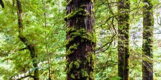Boom die in mos en varen in regenwoud wordt behandeld Royalty-vrije Stock Afbeeldingen