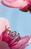 Boom die van de bloemenstampers van de de lentenectarine de kleurrijke roze in zacht zonlicht bloeien Royalty-vrije Stock Afbeeldingen
