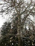 Boom door de wintersneeuw die wordt behandeld stock foto's