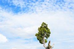 Boom duidelijke blauwe hemel Stock Foto