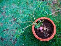 Boom in een pot op groen gras Stock Afbeeldingen