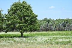Boom in een weiland door Kerstbomen wordt gevoerd die stock fotografie