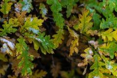 Boom en bladeren in sneeuw in de winter wordt behandeld die royalty-vrije stock foto