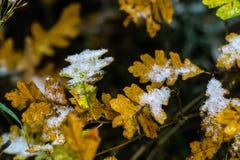 Boom en bladeren in sneeuw in de winter wordt behandeld die stock afbeelding