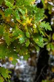 Boom en bladeren tijdens de dalingsherfst na regen stock foto's