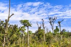 Boom en bluesky in het regenwoud van Azië royalty-vrije stock afbeeldingen