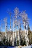 Boom en sneeuw in Colorado Royalty-vrije Stock Foto