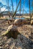 Boom felled door bevers in het hout bij het binnenwater Stock Foto
