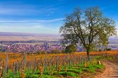 Boom in Franse wijngaard Royalty-vrije Stock Afbeeldingen