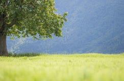 Boom, groen tarwegebied en bosachtergrond Stock Afbeeldingen