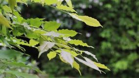 Boom groene bladeren in de wind stock video