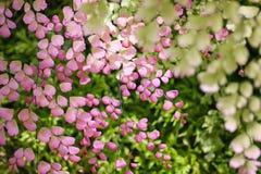 Boom groene bladeren en roze bladeren op achtergrond met erachter zonlicht royalty-vrije stock foto's
