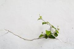 Boom het groeien door gebarsten muur Klein boom-tijdens de groei op cementmuur Oude pleistermuren gebarsten barst onkruid Stock Afbeeldingen