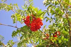 Boom het groeien op een boom Royalty-vrije Stock Fotografie