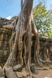 Boom het groeien in Ta-Som Tempel Royalty-vrije Stock Foto's