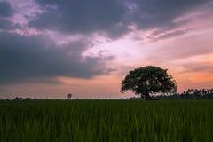 Boom in het midden van padievelden stock afbeeldingen