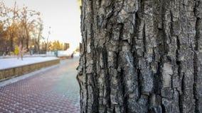 Boom in het Parkclose-up, de grote schors van de planboom royalty-vrije stock fotografie