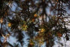 Boom II van de Pinyonpijnboom royalty-vrije stock foto