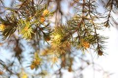 Boom III van de Pinyonpijnboom stock afbeelding