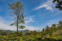 Boom in landschap van treaaanplanting dicht bij de Piek van weinig Adam in Sri Lanka stock foto's