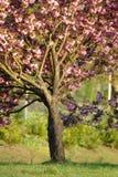 Boom met bloemen Stock Afbeelding