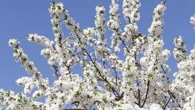 Boom met bloemen op de blauwe hemel stock footage