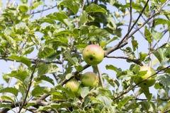 Boom met de appelen van kwaliteitsbraeburn Stock Afbeelding