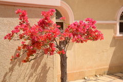 Boom met de roze bloemen Stock Afbeeldingen
