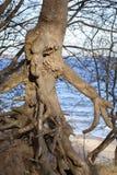 Boom met free-standing wortels Royalty-vrije Stock Fotografie