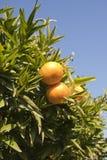 Boom met fruit Royalty-vrije Stock Foto's