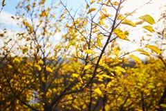 Boom met gele bladeren in helder herfstlandschap Royalty-vrije Stock Fotografie