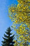 Boom met gele bladeren tegen blauwe hemel Stock Afbeelding