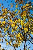 Boom met gele bladeren tegen blauwe hemel Stock Foto's