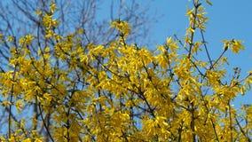 Boom met gele bloemen Gele bloemen Zonnige de lentedag stock video