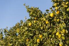 Boom met gele citroenen stock afbeeldingen
