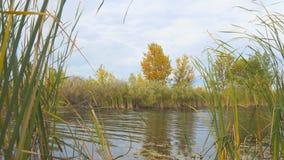 Boom met gele de herfstbladeren op de kust van een klein meer stock videobeelden