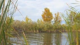 Boom met gele de herfstbladeren op de kust van een klein meer stock video