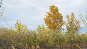 Boom met gele de herfstbladeren op de kust van een klein meer stock footage