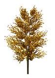 Boom met gele die bladeren op witte achtergrond worden geïsoleerd De herfstgebladerte Voorbereiding van een boom voor de ontwerpe royalty-vrije stock fotografie