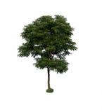 Boom met groen blad op witte achtergrond Royalty-vrije Stock Afbeelding