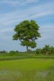 Boom met groen blad op witte achtergrond in Thailand Royalty-vrije Stock Afbeeldingen