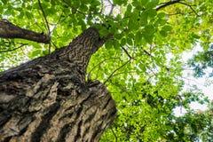 Boom met groene bladeren Stock Foto