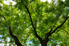 Boom met groene bladeren Stock Afbeelding