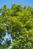 Boom met groene bladeren Royalty-vrije Stock Afbeelding