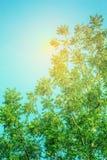 Boom met groene bladeren en hemel Stock Afbeelding
