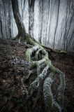 Boom met grote wortels met mos in bevroren donker bos Royalty-vrije Stock Fotografie