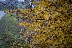 Boom met kleine gele bladeren in de herfst royalty-vrije stock foto